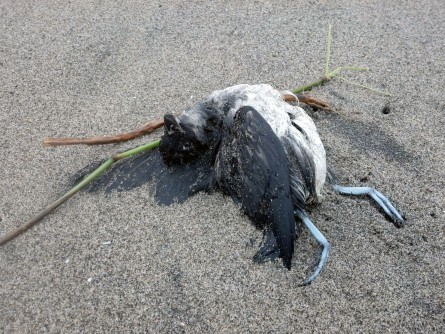 Newswise: Ocean Warming, 'Junk-Food' Prey Cause of Massive Seabird Die-Off, Study Finds