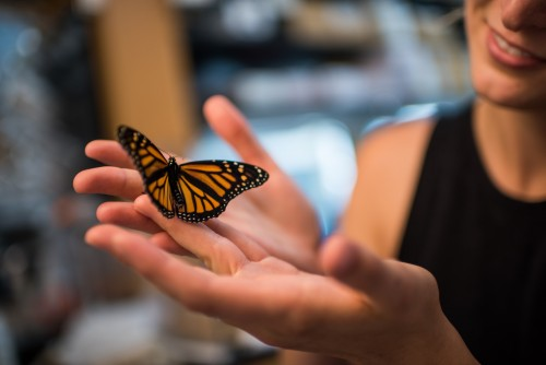 Newswise: Rising Carbon Dioxide Levels Pose a Previously Unrecognized Threat to Monarch Butterflies