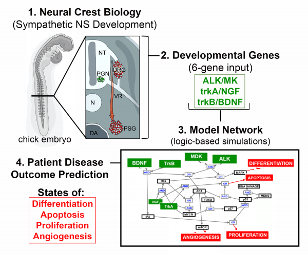 Study summary – scientists use insight from neural crest biology and developmental signaling pathways to generate a predictive model for neuroblastoma outcomes.