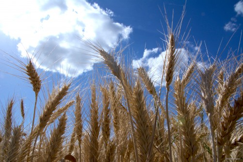 Newswise: The Wheat Code Is Finally Cracked