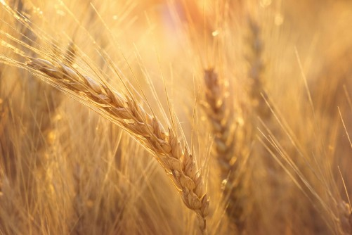 Newswise: Wheat Code Finally Cracked; Wheat Genome Sequence Will Bring Stronger Wheat Varieties to Farmers