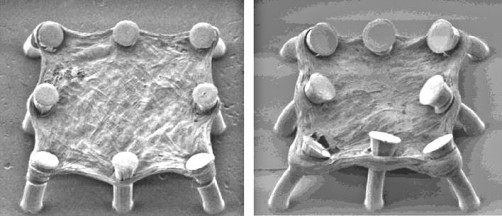 Newswise: Lung Tissue Chip Offers Rapid Testing of Anti-Fibrotic Drugs