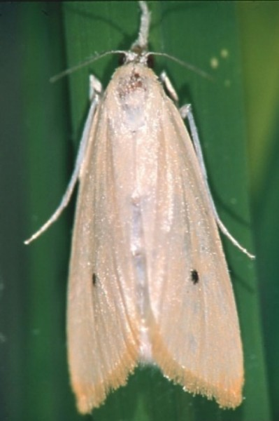 Image of an Asiatic rice borer (Chilo suppressalis).