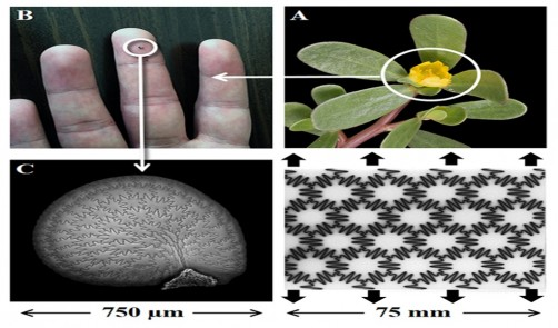 Newswise: UNH Researchers Find Seed Coats Could Lead to Strong, Tough, Yet Flexible Materials