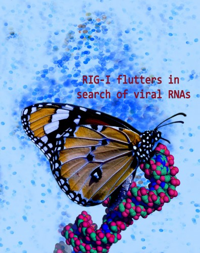 "Newswise: Rutgers Research Defines Mechanism of Immune Protein that ""Flutters"" Like a Butterfly in Search of Viral Infection"