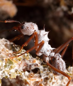 Newswise: Set in Amber, Fossil Ants Help Reconstruct Evolution of Fungus Farming