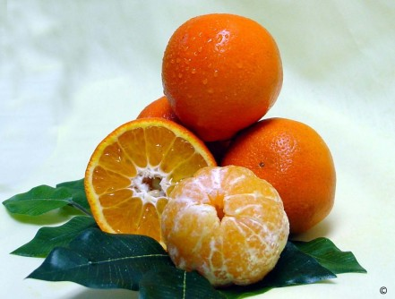 Newswise: UF/IFAS Research Shows Rootstock Influences Metabolism in Sugar Belle® Citrus