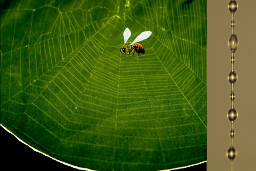 (Left) A photo of a spider orb web and (right) the elegant bead-on-chain structure of spiral silk