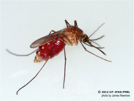 Newswise: UF/IFAS Entomologist Urges Precautions Against Mosquito-Borne Viruses