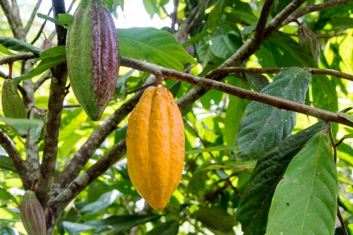 Newswise: Mars Taps Benson Hill's Crop Design Platform to Help Protect Cacao from Climate Change