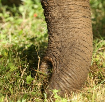 Newswise: How the Elephant Uses its Trunk to Eat