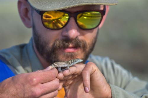 Sandia National Laboratories wildlife biologist Evan Fahy assesses a New Mexico Whiptail lizard captured on land controlled by the Department of Energy. The labs ecology team gathers baseline monitoring data on reptiles and amphibians living on labs property.