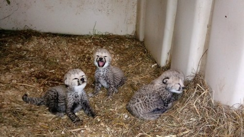 Newswise: Three Cheetah Cubs Born at the Smithsonian Conservation Biology Institute
