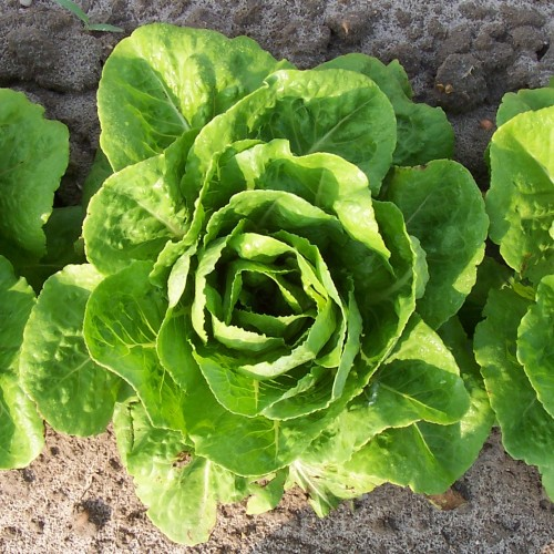 Newswise: What the CDC's sweeping warning about romaine lettuce means for consumers, restaurants and farmers.