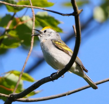 Newswise: Discovery: Rare Three-Species Hybrid Warbler