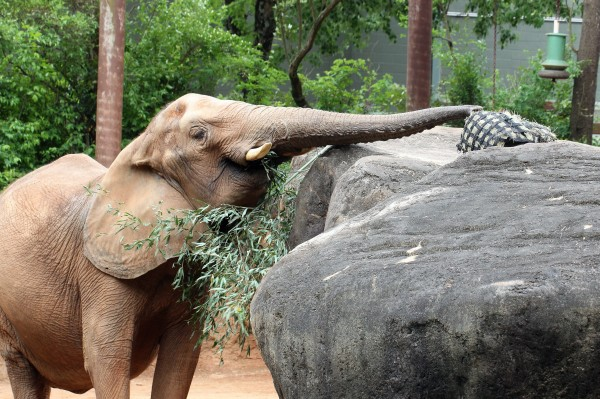 Kelly the elephant searching for food above eye level using her trunk