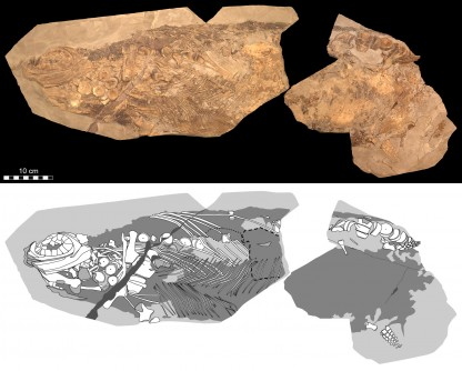 Newswise: Soft Tissue Shows Jurassic Ichthyosaur Was Warm-Blooded, Had Blubber and Camouflage