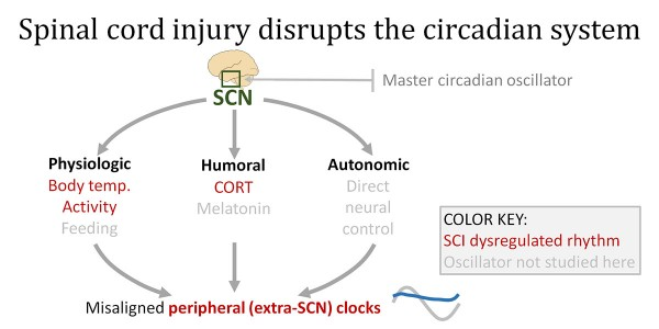 Spinal cord injury disrupts the circadian system. Light acts on the circadian system through the master oscillator of the brain, the suprachiasmatic nucleus (SCN). The SCN coordinates peripheral clocks via intermediate factors (physiologic, humoral, and autonomic). This new work shows that spinal cord injury disrupts several intermediate factors, which throws off rhythms of other clocks throughout the body. If these post-injury effects hinder repair, clock-based strategies could help improve recovery.