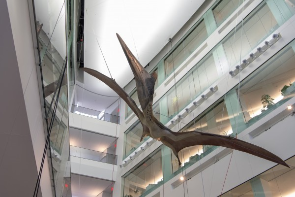 A life-size model of a giant prehistoric pterosaur being hoisted into place in an atrium at the U-M Biological Sciences Building