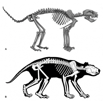 "Newswise: First-ever look at complete skeleton of Thylacoleo, Australia's extinct ""marsupial lion"""